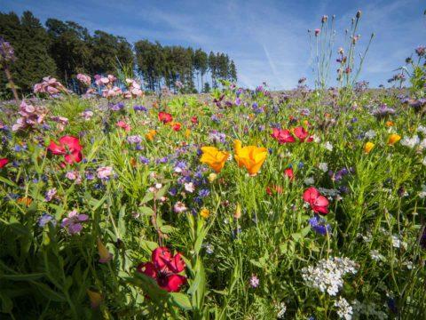Blumenwiese auf der Schwäbischen Alb