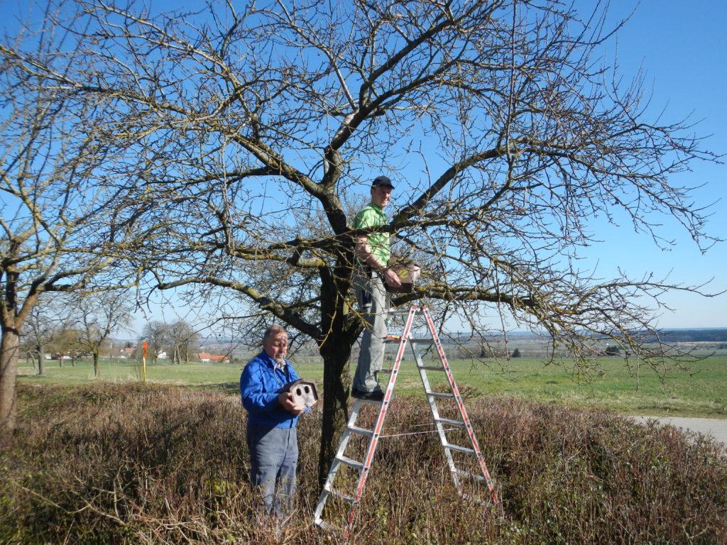 Anbringung von Nistkästen in einem Baum von zwei Männern auf einer Leiter.