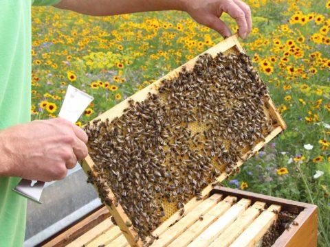 Imker hält Waben eines Bienenstocks